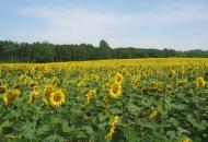 Zonnebloemen bij het dorp