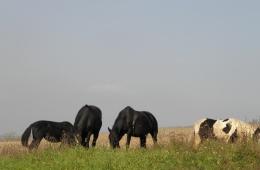 Grazende paarden bij het dorp