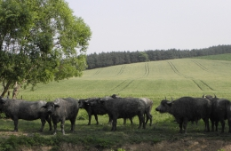 Buffels bij het dorp